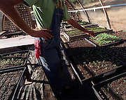 Kantor lets seedlings grow as big as they can within their tiny soil blocks in the greenhouse, where they are better protected from pests and the elements.