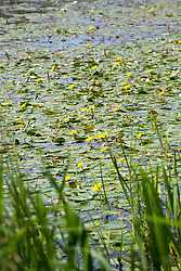 Fringed water-lily in a natural wildlife friendly pond. Nymphoides peltata