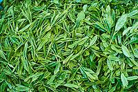 Japon, île de Honshu, région de Shizuoka, feuille de thé // Japan, Honshu, Shizuoka, tea leaf
