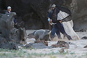 NOAA researchers Mark Sullivan (holding net), Sean Guerin (behind), and Kenady Wilson (at left), capture a Hawaiian monk seal, Monachus schauinslandi, in order to put a Crittercam and tracking instrumentation package on it; west end of Molokai, Hawaii, photo taken under NOAA permit 10137-6