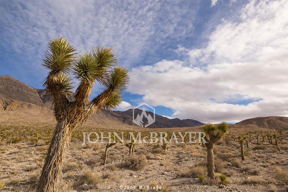 Joshua trees cover the landscape in Death Valley. © John McBrayer