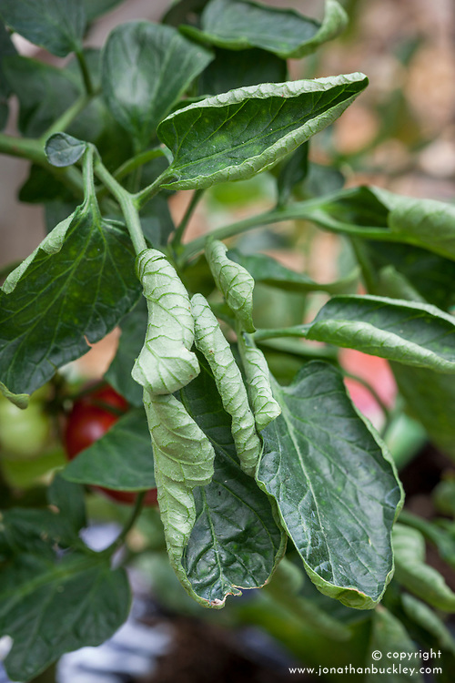 Leaf curling on a tomato plant grown in greenhouse - sometimes caused by fluctuating temperatures