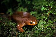 A rough-skinned newt (Taricha granulosa), coastal mountains of Oregon.