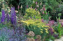 A section of the long border at Great Dixter with Foxgloves 'Glittering Prizes mixed', Delphinium 'Mighty Atom', Achillea 'Lucky Break' and Cynoglossum amabile.