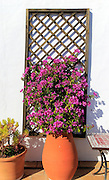 Pretty flowering bougainvillea plant in clay pot on tiled terrace, Vejer de la Frontera, Cadiz Province, Spain