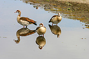 Egyptian Goose (Alopochen aegyptiaca) a member of the duck, goose, and swan family Anatidae. It is native to Africa south of the Sahara and the Nile Valley. Photographed in Tanzania in December