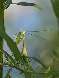United States, Oregon, Deschutes River, Praying Mantis