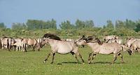 Konik horse, stallions fighting. Oostvaardersplassen, Netherlands. Mission: Oostervaardersplassen, Netherlands, June 2009.