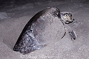 nesting olive ridley sea turtle, Lepidochelys olivacea, laying eggs on Mexiquillo Beach, Mexico ( Eastern Pacific )
