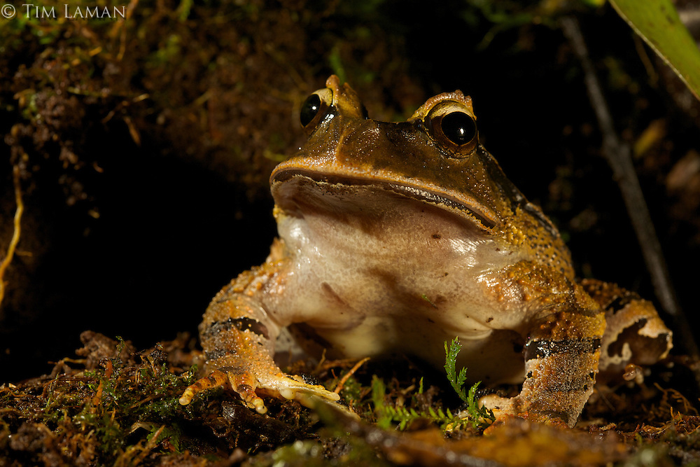 Frog (Lechriodus platyceps)<br />In the Foja Mts near Bog Camp at 1650 m.