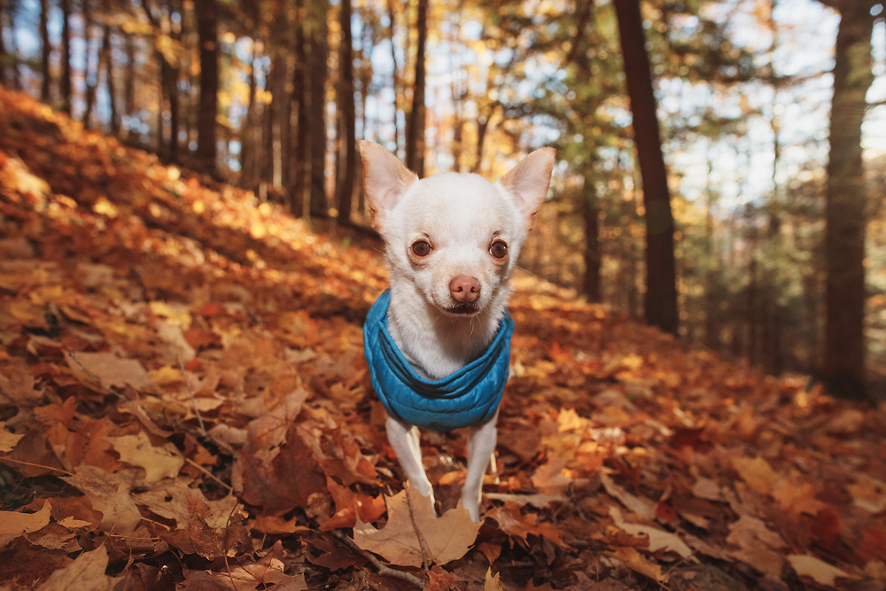 teacup Chihuahua on a path in the orange fall leaves