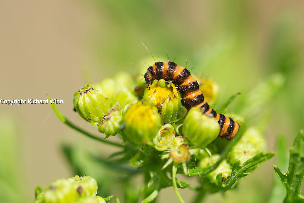 Medium-sized cinnabar moth caterpillar (Tyria jacobaea) curled over the top of an opening common ragwort flower.