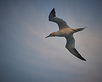 Northern Gannet in the Morning. Image taken with a Nikon D800 camera and 70-300 mm VR lens (ISO 800, 300 mm, f/5.6, 1/500 sec).