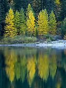 Autumn colors of Black Cottonwood, Populus balsamifera, along the shore of Avalanche Lake, Glacier National Park, Montana.