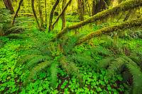 Intimate scene in the Sol Duc Rainforest, Olympic National Park