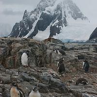 Gentoo Penguins on Petermann Island, Antarctica. Behind is a mountain on the Antarctic Peninsula