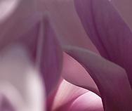 Magnolia Petals