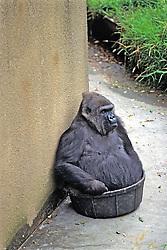 Gorilla In Plastic Tub, Franklin Park Zoo