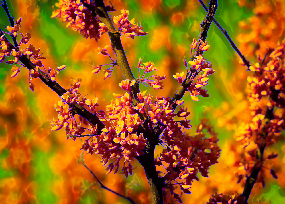 A blooming Redbud Tree Abstraction. A Redbud is a small tree with a sturdy upright trunk which divides into stout branches that usually spread to form a broad flat head. Found on rich bottom lands throughout the Mississippi River valley; will grow in the shade and often becomes a dense undergrowth in the forest.