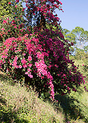 Pink Bougainvillea flowers in the Highlands of Sri Lanka, Asia
