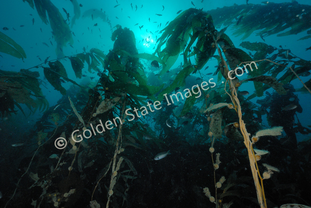 As the oceans equivalent of trees, a kelp plant shares many of their features. At the base is a large structure called a holdfast which form the roots. Then there is the stipes which make up its trunk and branches. Flat blade like structures then form the leaves.<br /> <br /> Kelp forests have and continue to be the focus of much scientific research in California as they are a highly productive marine ecosystem which has been heavily impacted by pollution and over fishing.<br /> <br /> Under ideal conditions Macrocystis can reach lengths of 100 feet or more within 1 to 2 years. A Kelp Forest supports an incredibly diverse community of marine life made up of nearly 800 known species. <br /> <br /> Kelp is commercially harvested for Algin a compound used as a smoothing agent in hundreds of products. A few examples include cosmetics salad dressings canned foods and frozen foods such as ice cream. Only the upper canopy is cut away much like mowing a lawn. The Kelp Forest quickly re-grows and can be harvested multiple times per year.<br /> <br /> The round bulbs at the base of each blade are called pneumatocysts. Each one is a gas filled bladder that provides buoyancy. Collectively they assist in keeping the kelp plant in an upright position.<br /> <br /> Range: Alaska to Magdalena Bay Baja Mexico    <br /> <br /> Species: Macrocystis pyrifera