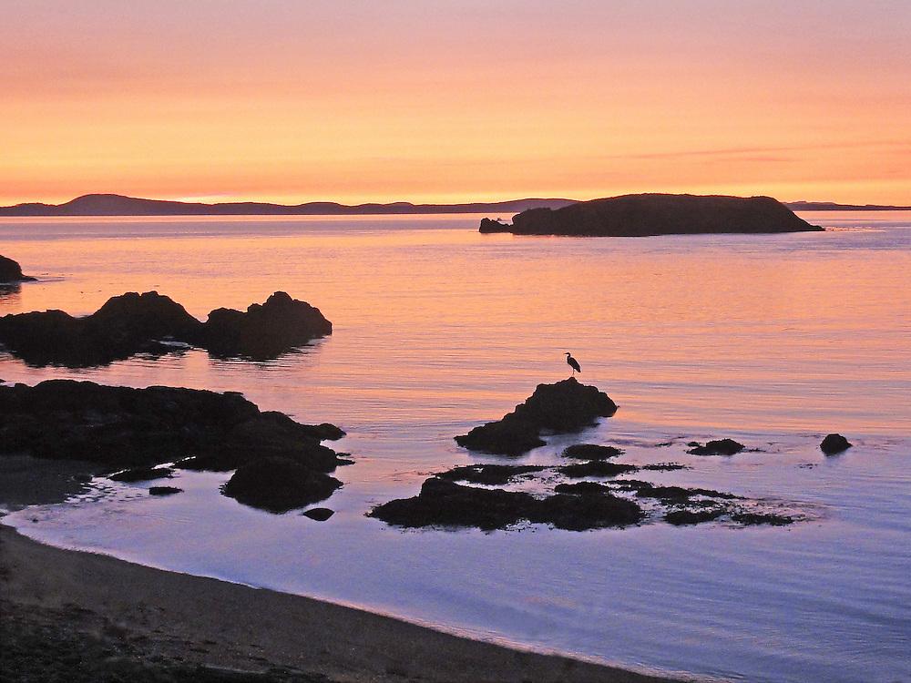 Heron Perched on Tidal Rock at Sunset, Rosario Beach, Anacortes, WA