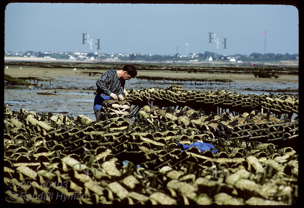 Suzanne Barbeau & son-last of flat oyster breeders- tidy hatching tiles tumbled by ocean storm. France