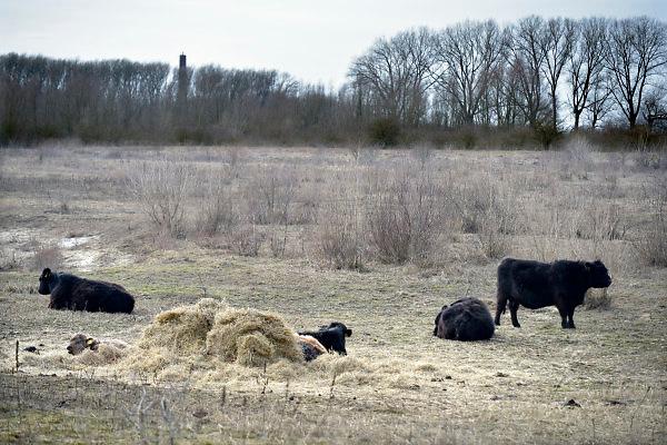 Nederland, Millingen, 1-3-2018In natuurgebied van staatsbosbeheer de Millingerwaard, Gelderse Poort, worden de Galloway wilde grazers, runderen, met hooi bijgevoerd door beheerder Free Nature .Foto: Flip Franssen