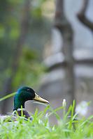Mallard duck (Anas platyrhynchos) in Vatican's garden, Rome, Italy