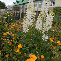 A lush garden grows behind a home in Port Stanley, Falkland Islands.