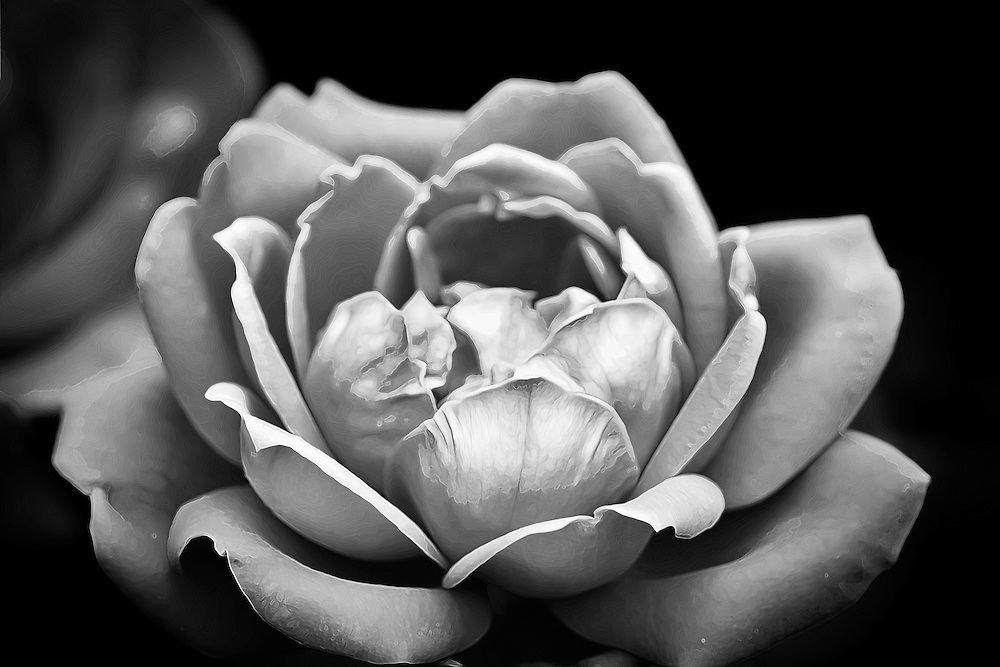 A black and white closeup of a rose.