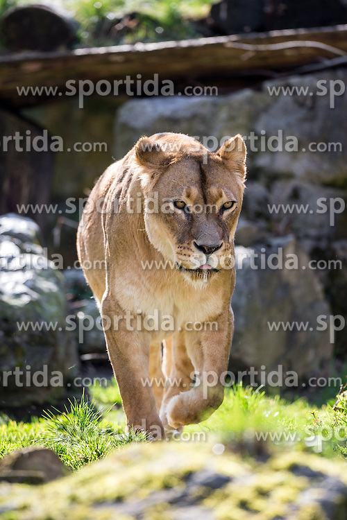 01.04.2016, Zoo, Duisburg, GER, Tiere im Zoo, im Bild weiblicher Loewe streift durch das Gehege // during visit to the Zoo. Duisburg, Germany on 2016/04/01. EXPA Pictures © 2016, PhotoCredit: EXPA/ Eibner-Pressefoto/ Hommes<br /> <br /> *****ATTENTION - OUT of GER*****