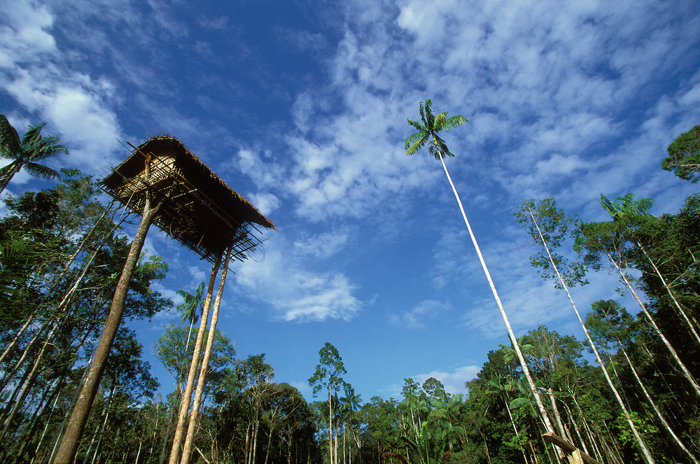 A new treehouse built some 15 meters above ground in Papua, Indonesia. September 2000. The house belongs to a group of Kombai, one of the rainforest groups referred to as Treehouse People, since they buid their homes high in the trees.