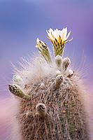CARDON (Trichocereus pasacana) FLORECIDO, QUEBRADA DE HUMAHUACA, PROV. DE JUJUY, ARGENTINA