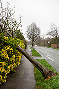 A fallen tree covers a pathway blown down by high winds in Folkestone, Kent on the south coast of England on Sunday February 9, 2020, as Storm Ciara swept over the United Kingdom. Amber weather warnings were put into place by the MET office as gusts of up to 90mph and heavy rain swept across the UK. An amber warning from the MET office expects a powerful storm that will disrupt air, rail and sea links travel, cancel sports events, cut electrical power and damage property.  (photo by Andrew Aitchison / In pictures via Getty Images)