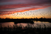 Spectacular sunset murmuration of starlings, thousands of birds  shape pattern in flight to roost in Somerset Levels marshes, UK