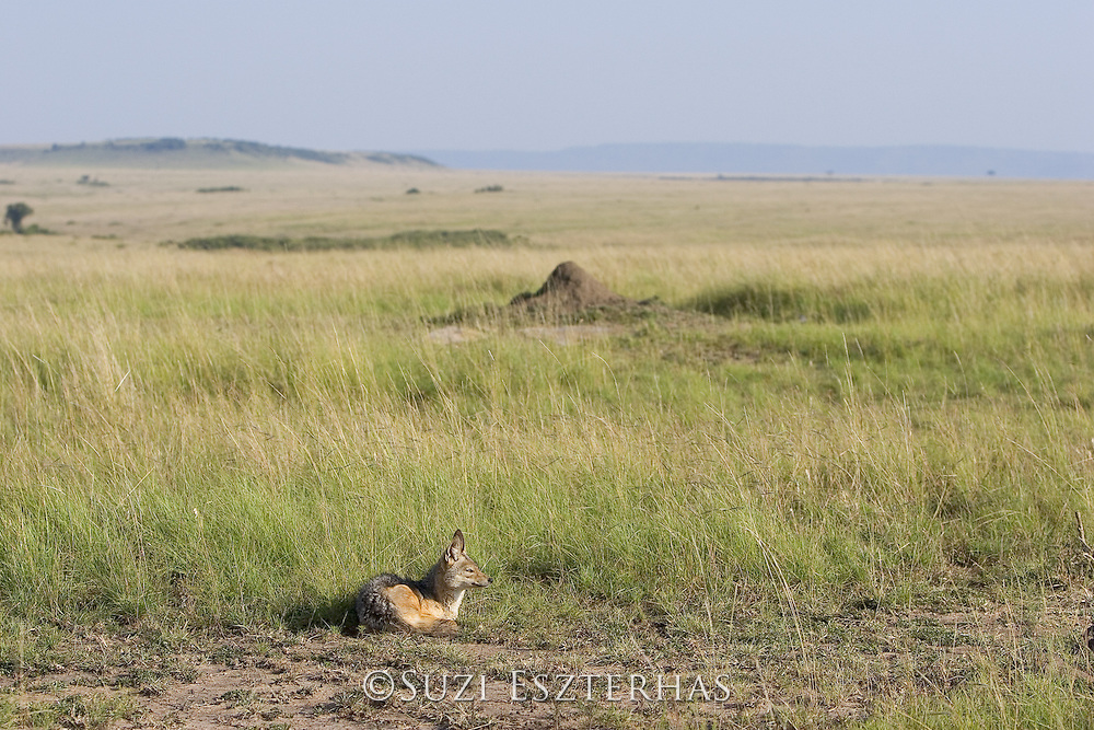 Black-backed Jackal<br /> Canis mesomelas<br /> Maasai Mara Reserve, Kenya