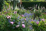Rosa Mary Rose 'Ausmary' and Rosa Enfant de France, hybrid scented pink roses and Geranium 'Brookside' surrounding a teak bench in The Shrub Rose Garden at The RHS Garden Rosemoor in Great Torrington, Devon, UK