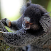 South America, Brazil, Rio de Janiero. Common Marmoset, a common sighting in Rio de Janiero.