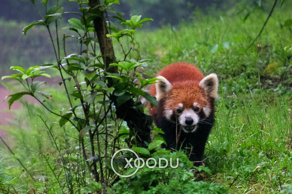 Red panda comin right for us, Chengdu, China (May 2004)