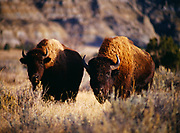 Two Bison, North Unit, Theodore Roosevelt National Park, North Dakota.