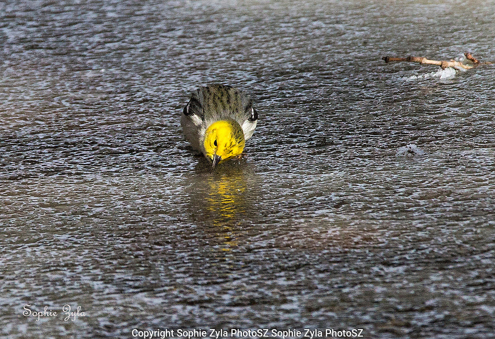 Hermit Warbler taking a drink or fishing for insects?