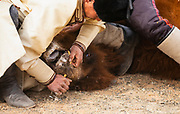 At a local camel fair, a  cruel competition of speed to see who can insert wooden nose pegs in the nose of a wild Bactrian camel, Gobi Desert, Mongolia