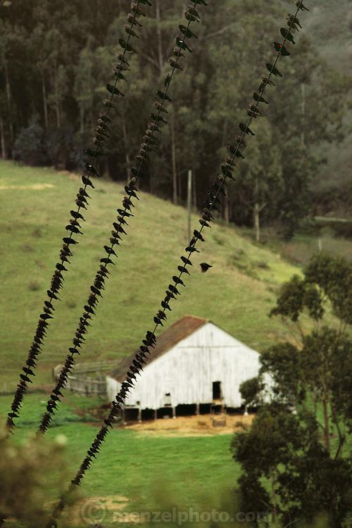 Birds gather on power lines in Pescadero, California. USA.