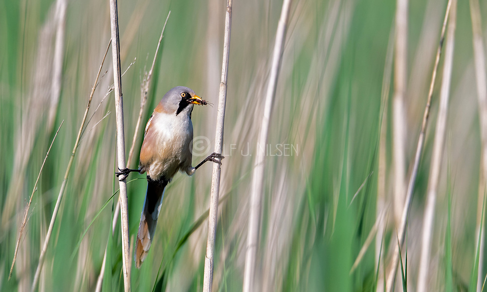 Bearded reedling (Panurus biarmicus, male) bringing insects to feed the chicks. Photo from Vejlerne, northern Denmark in June.