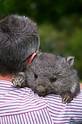 Wildlife carers are individuals with specialist skills in looking after and rehabilitating native animals.  An animal that requires specialist care during rehabilitation is the Australian Common Wombat (Vombatus ursinus).