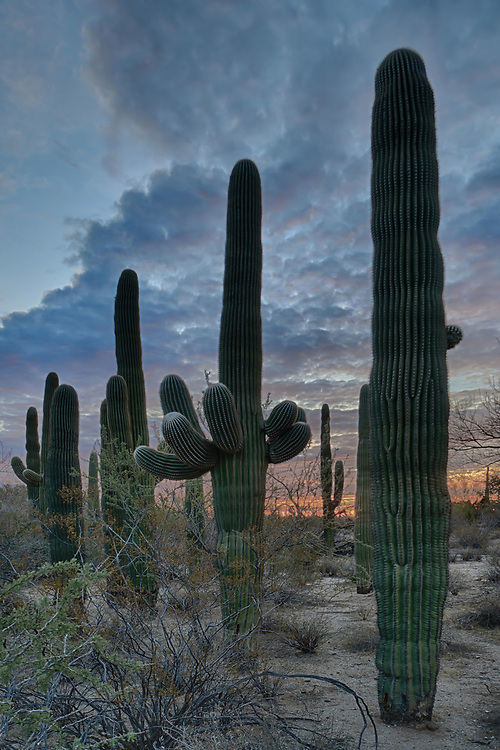 This semi circle of saguaro cactus stand watch over the Maeveen Behan Desert Sanctuary