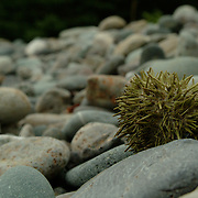 A Sea Urchin sits high up in the intertidal zone on a rocky beach in Eastern Maine. Often Urchins are pulled from tide pools and low spots in the intertidal zone by gulls and other seabirds and predators. The Sea Urchin is primarily found in submerged areas near the shore. The rocky beach is common in Maine.