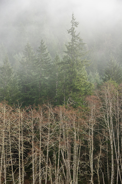 Pacific red alder and evergreen forest, Elwha River Valley, Olympic National Park, Washington, USA