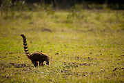 Aquidauana_MS, Brasil...Quati-mundi (nasua nasua) da fazenda Rio Negro no Pantanal...Coatimundi (nasua nasua) in the Rio Negro farm in Pantanal...Foto: JOAO MARCOS ROSA / NITRO